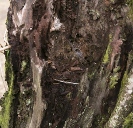 桜木の喰害